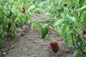 Greenhouse-employee-bell-peppers-a0w3X00000S9pS1QAJ